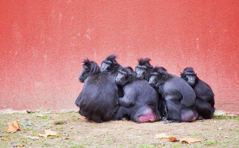 小组塞利比斯顶饰短尾猿猕猴属老黑 库存图片