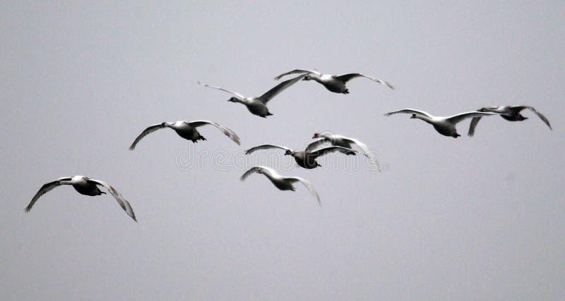 小组天鹅飞行 库存照片