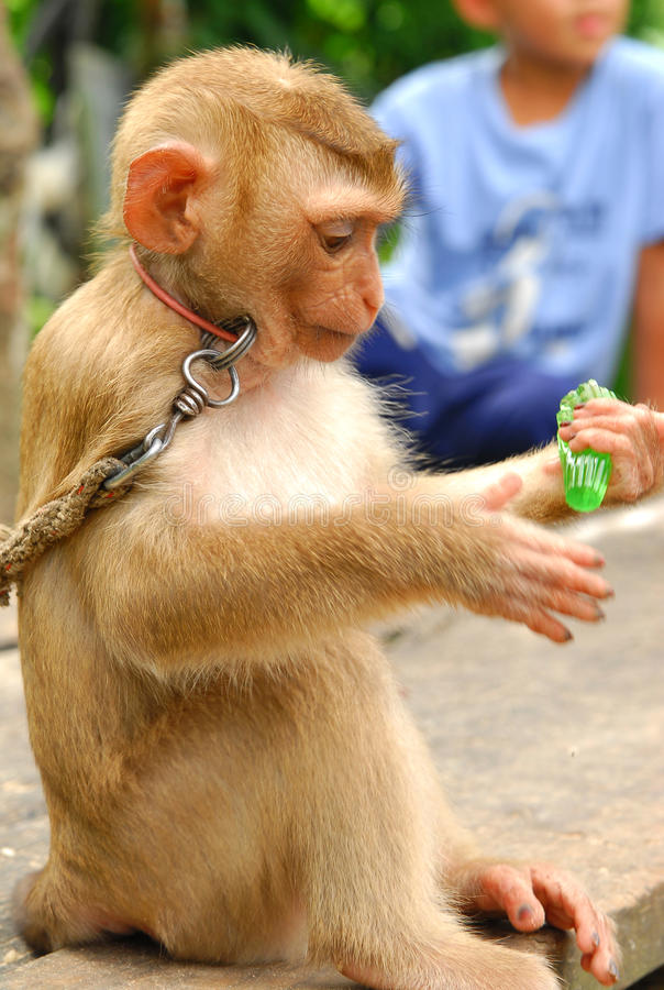 小猴子吃果冻 库存图片