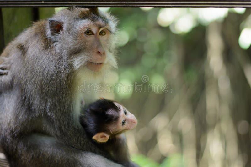 Download 小猴子 库存照片. 图片 包括有 短尾猿, 系列, 子项, 长毛, 鬼脸, 投反对票, 生物, 东部, 少许 - 72358464