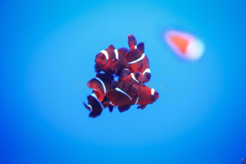 小组小丑Anemonefish 免版税图库摄影