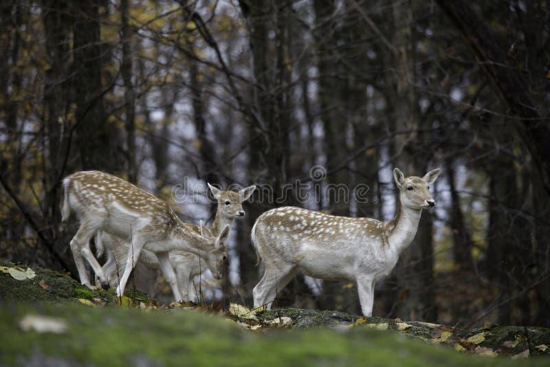小组小鹿在森林 免版税库存图片
