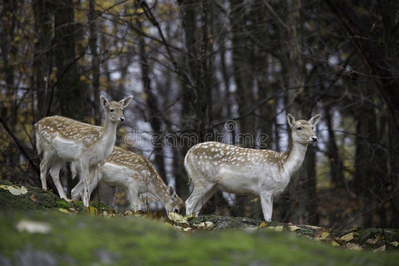 小组小鹿在森林 图库摄影