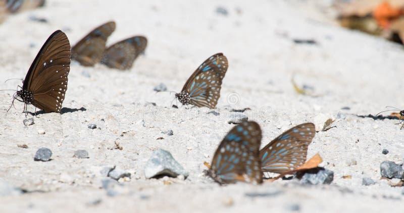 小组布朗蝴蝶 库存照片