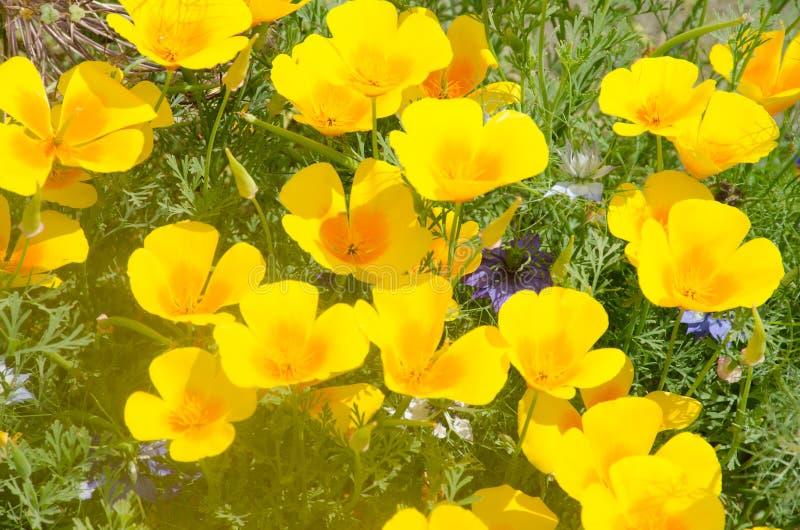 小组明亮的橙色加利福尼亚鸦片 库存照片