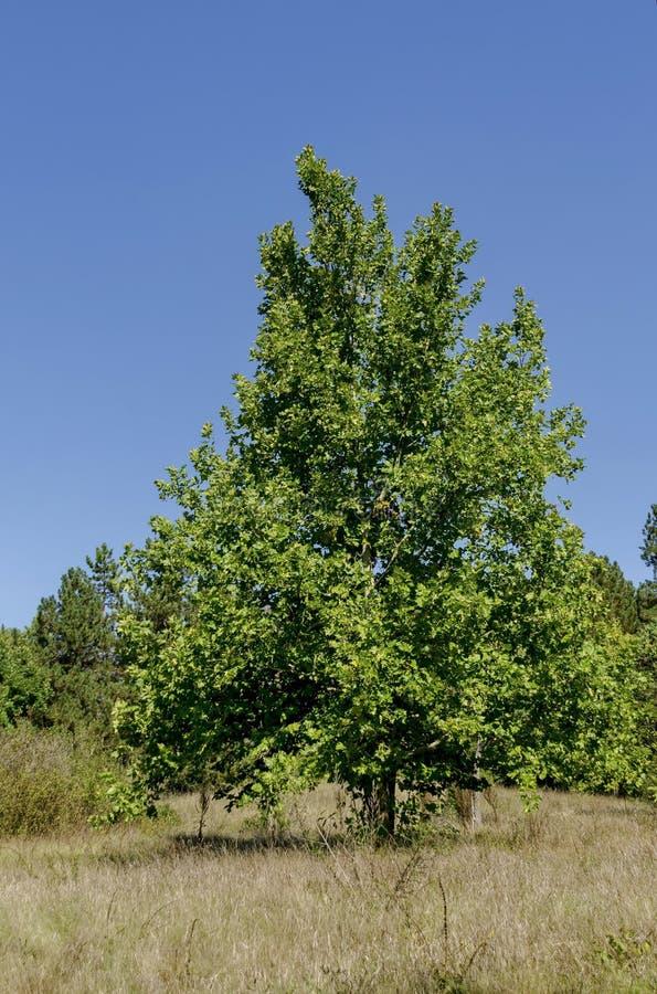 小组树在早期的秋天,拉兹格勒 免版税库存照片