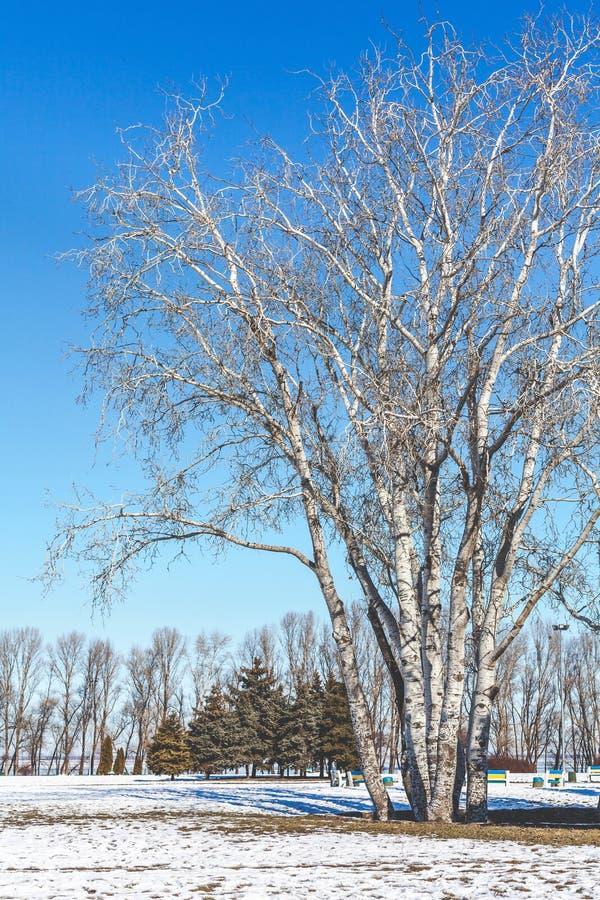 小组桦树在冬天公园 免版税图库摄影