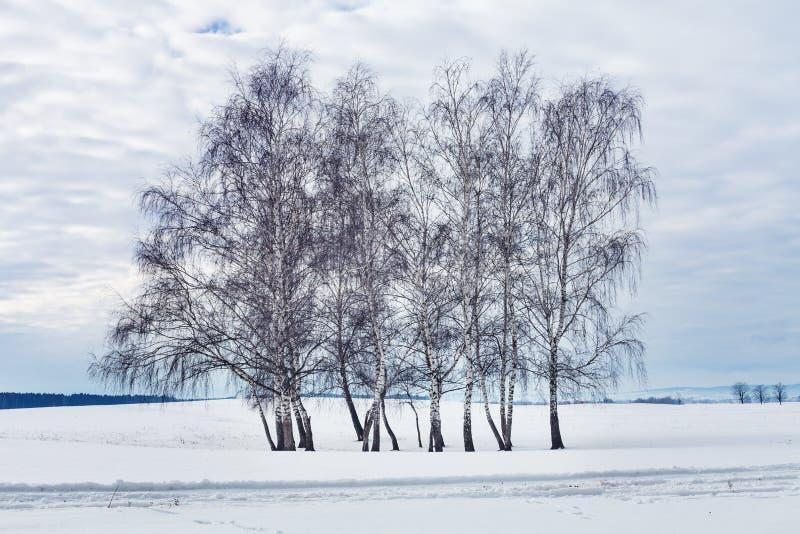 小组桦树在冬天 免版税图库摄影