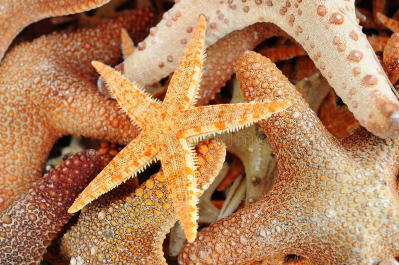 小组橙色海星 免版税库存照片