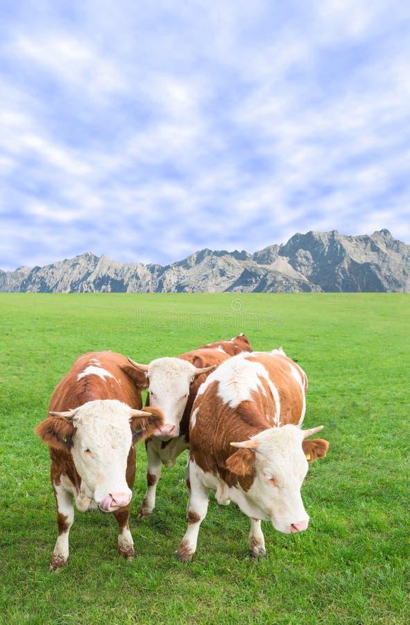 小组母牛产犊吃草反对阿尔卑斯山牧场 免版税图库摄影