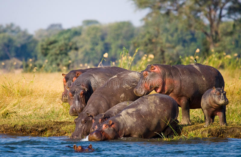 小组河马在银行站立 博茨瓦纳 Okavango Delta 免版税库存照片
