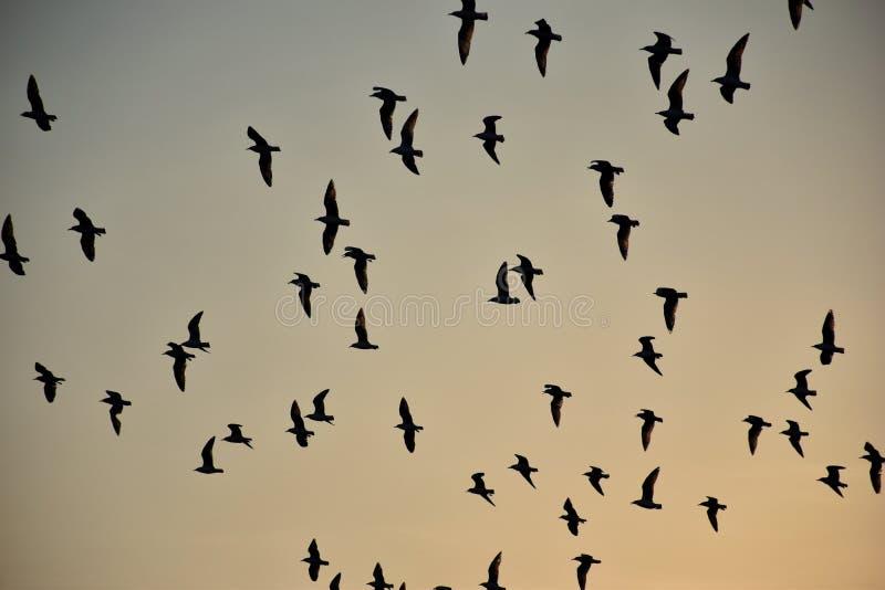 小组海鸥在天空飞行 免版税图库摄影