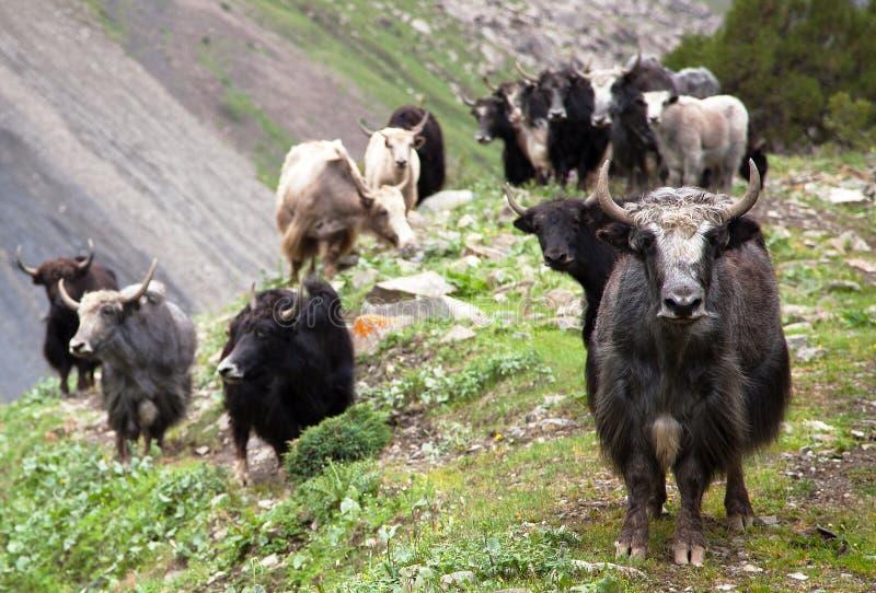 小组牦牛 免版税库存图片