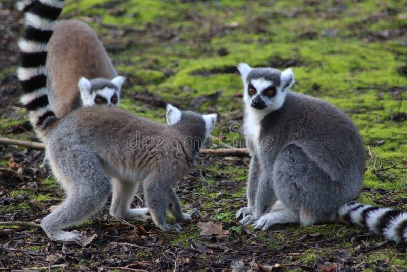 小组环纹尾的狐猴 库存照片