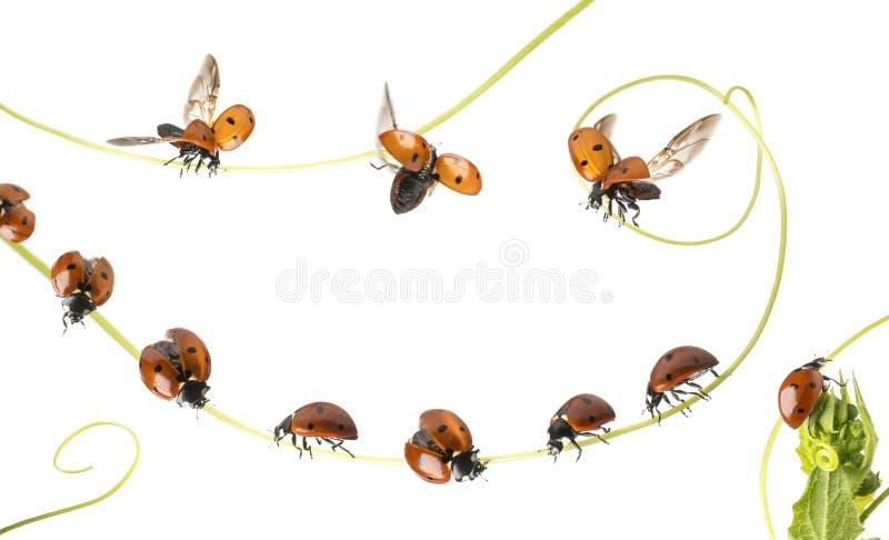 小组瓢虫在植物和飞行登陆了,被隔绝 库存照片
