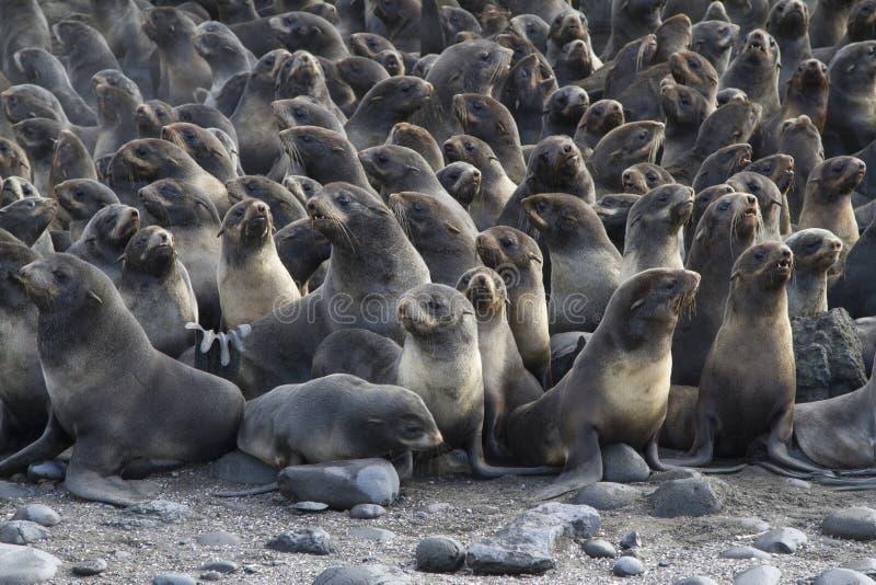 小组秋天的年轻北海狗群 库存照片