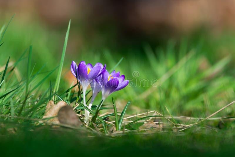 小组第一春天开花-紫色番红花开花外面 免版税库存图片