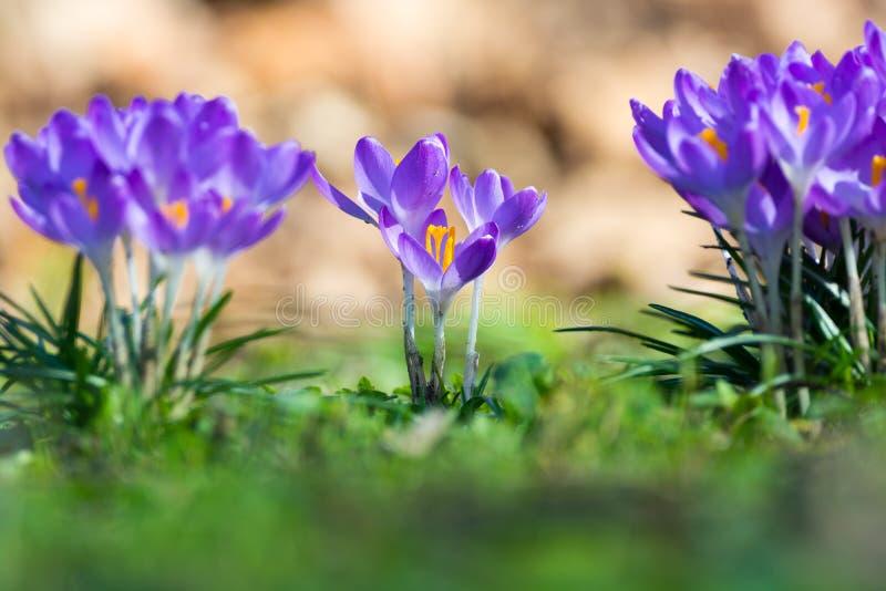 小组第一春天开花-紫色番红花开花外面 图库摄影