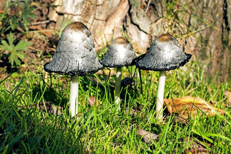 小组粗野的墨水盖帽(鬼伞属comatus)在树前面 库存图片