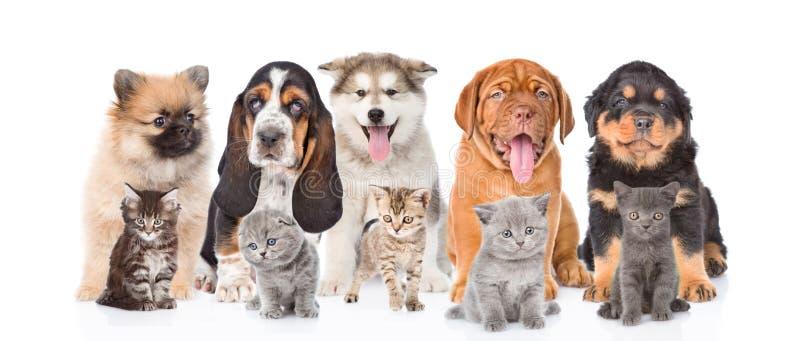 小组纯血统小狗和小猫 在空白背景 免版税图库摄影