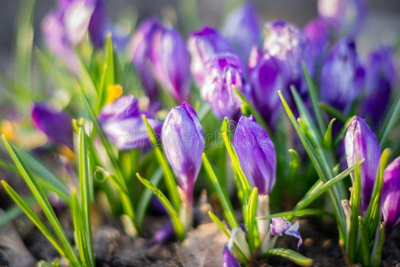 小组紫色番红花番红花幼芽开花 图库摄影