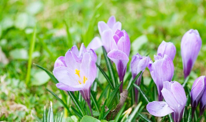小组紫色番红花(幼芽的番红花)与有选择性/软绵绵地焦点 免版税图库摄影