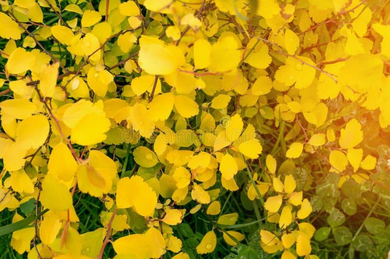 黄色小�{�p_小黄色秋叶自然本底