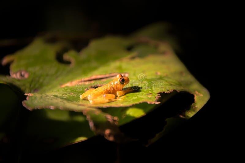 小黄色青蛙 免版税库存图片