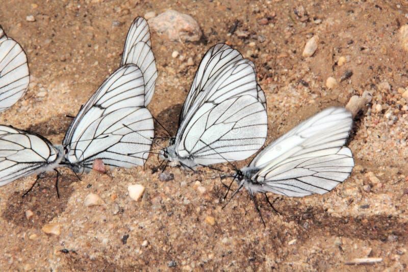 小组蝴蝶。 库存图片