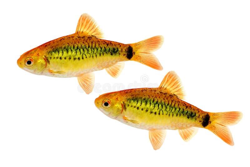 小组被隔绝的金倒钩Barbodes semifasciolatus中国倒钩水族馆鱼 库存照片