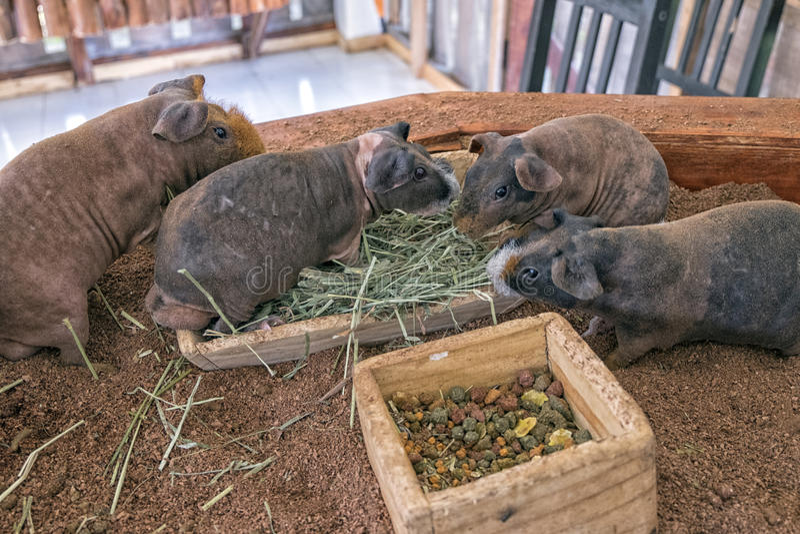 小组试验品叫吃草的Skinny猪 免版税库存照片