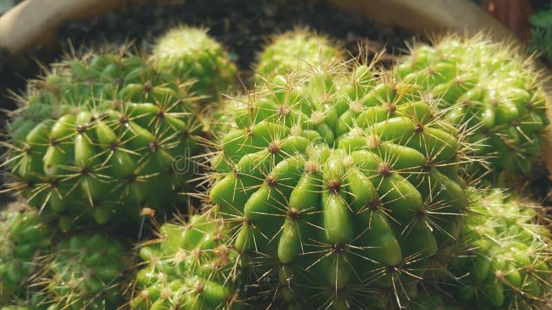 小组金黄球仙人掌或Echinopsis仙人掌植物 库存图片