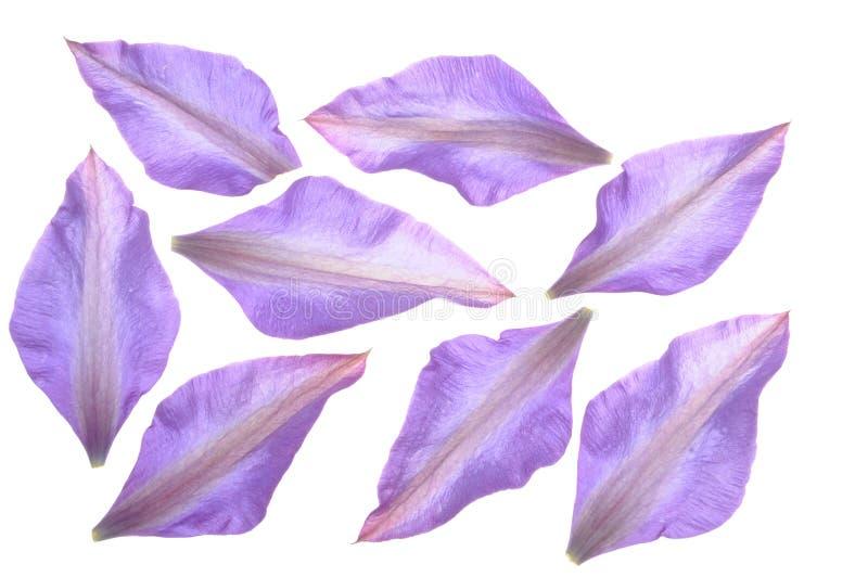 小组铁线莲属花的瓣 图库摄影