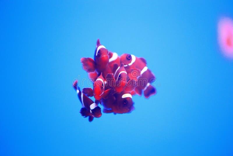 小组银莲花属鱼 库存图片