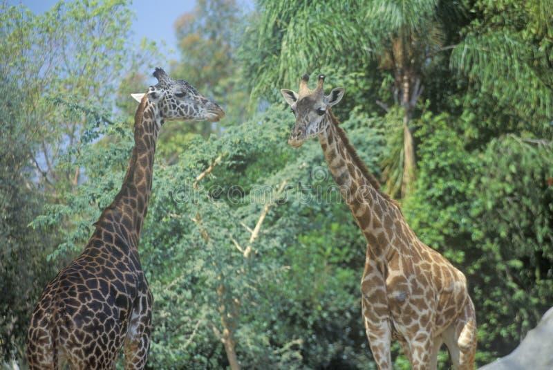 小组长颈鹿,圣地亚哥动物园,加州,马塞人长颈鹿,长颈鹿Camelolpardalis 免版税图库摄影