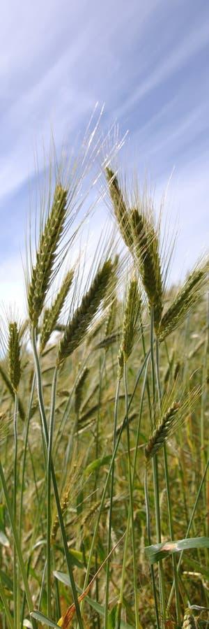 小黑麦庄稼 免版税库存图片