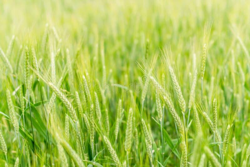 小黑麦领域在乡下(软的焦点) 免版税库存图片