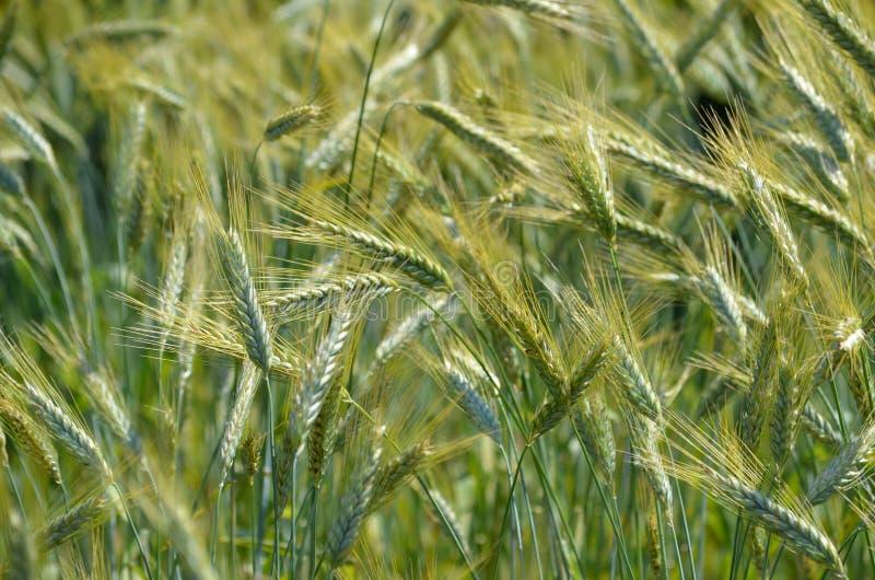 小黑麦(小麦属植物x Secale)庄稼 库存照片