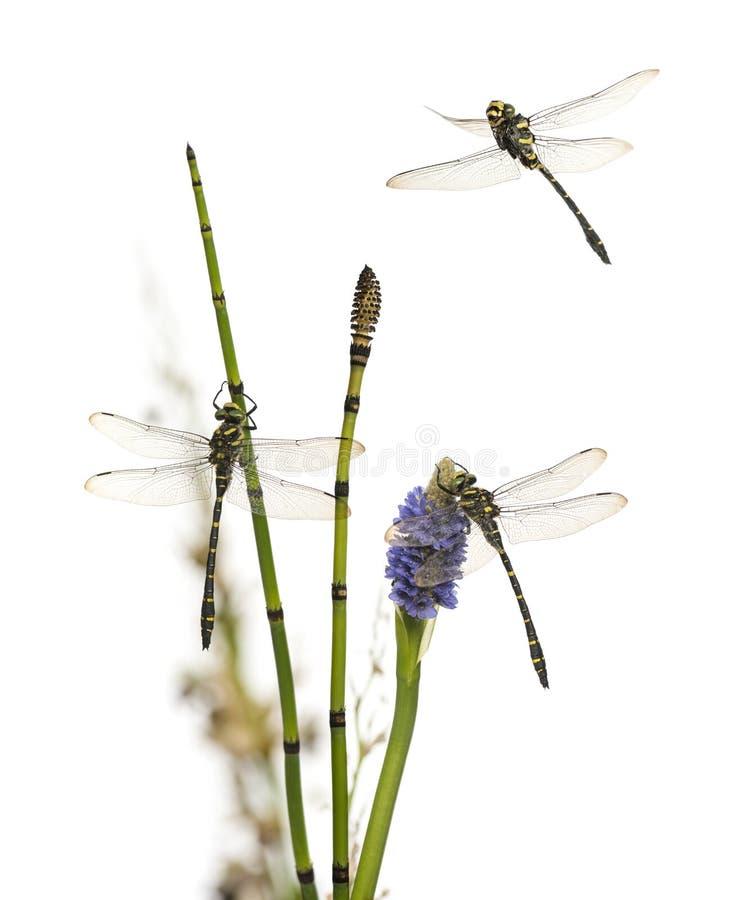 小组Cordulegaster bidentata在植物登陆了,被隔绝 库存图片
