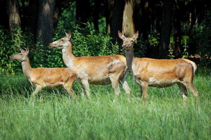 小组hinds马鹿女性走在有春天的草甸在森林前面开花 免版税库存图片