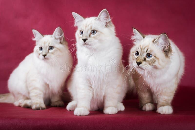 小组neva在红色背景的化妆舞会小猫 库存图片