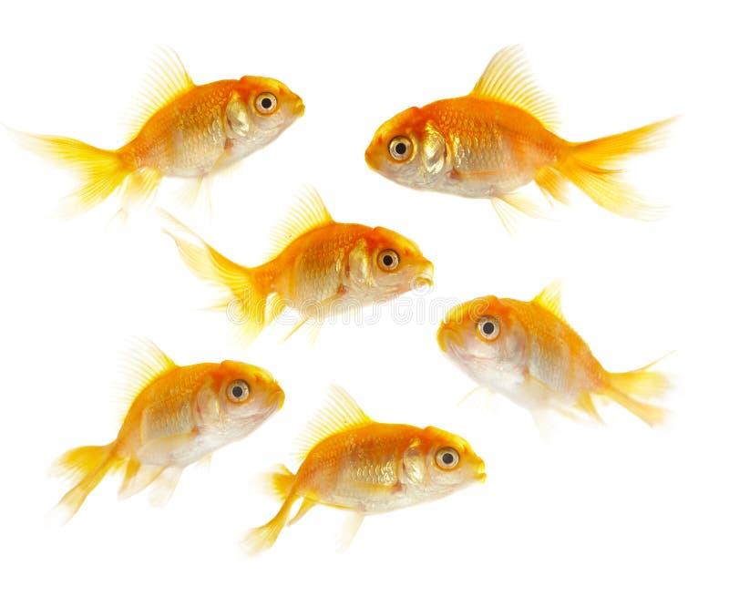 小fishs的金子 免版税库存照片