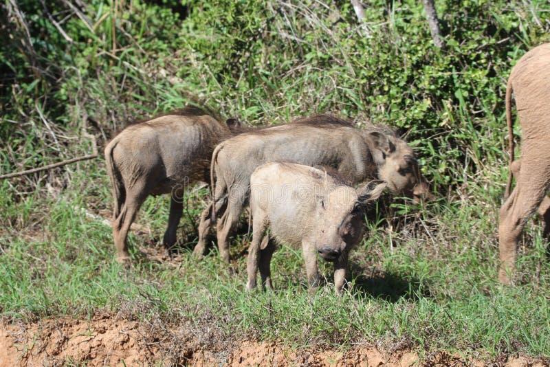 小warthogs在阳光下 库存图片
