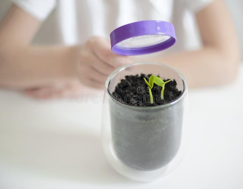 少女学习基本的科学类的小植物 儿童藏品放大镜 地球日假日概念 免版税库存图片