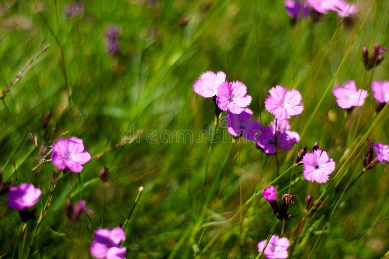 少女桃红色看法在Ciucas山,罗马尼亚语喀尔巴汗开花 库存照片
