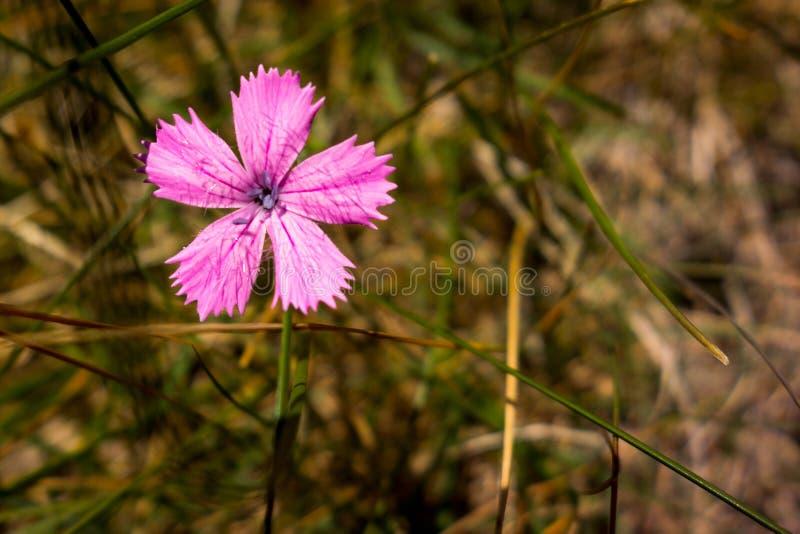 少女桃红色花,罗马尼亚语喀尔巴汗看法在Ciucas山的 免版税库存图片