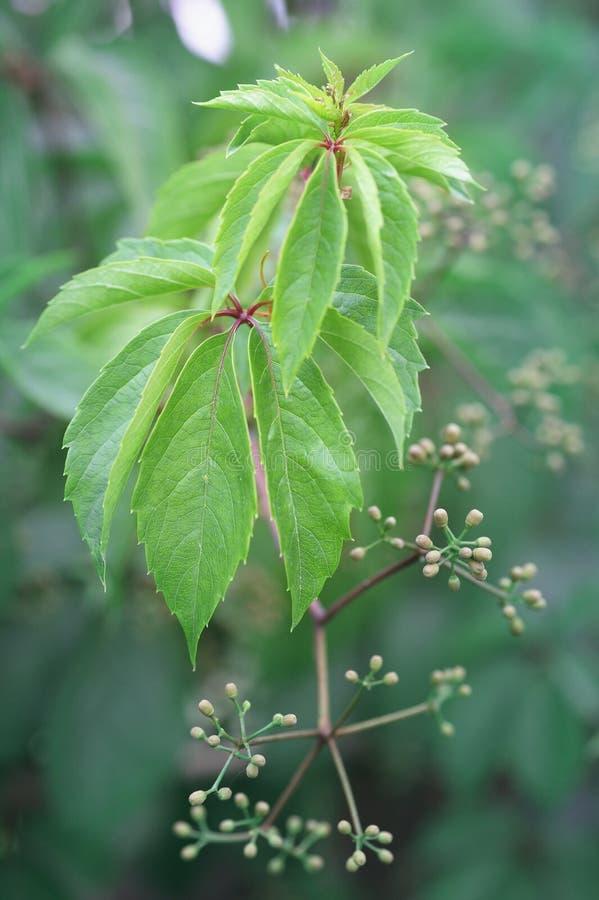 少女葡萄水多的绿色年轻分支与小的芽的 免版税库存照片