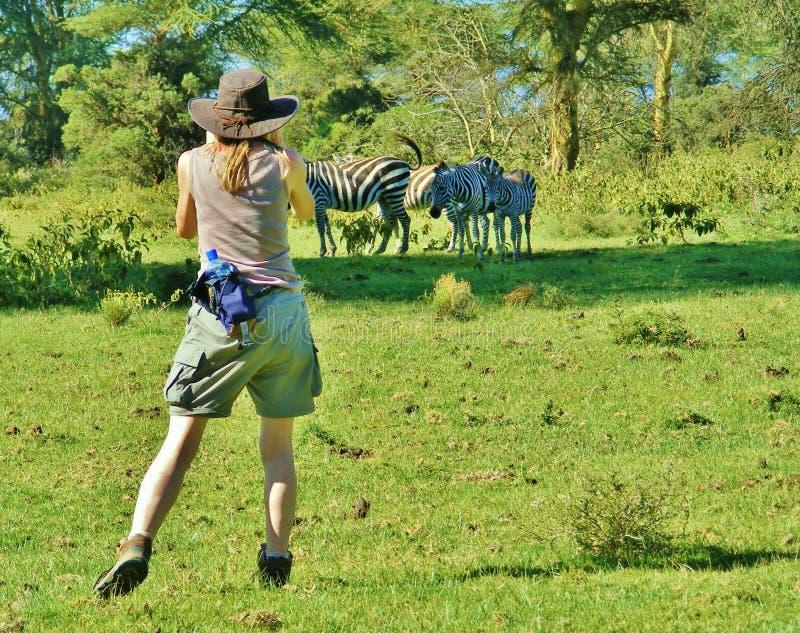 少妇摄影师在附近拍斑马的照片非洲 免版税库存图片