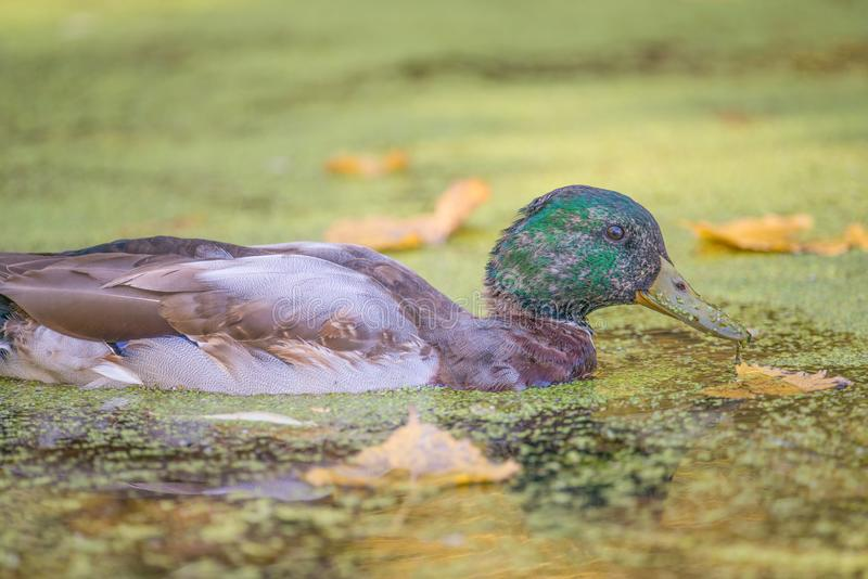 少年公野鸭鸭子蜕变的羽毛的画象在明尼苏达河的洪泛区明尼苏达谷的Wildlif 免版税库存图片