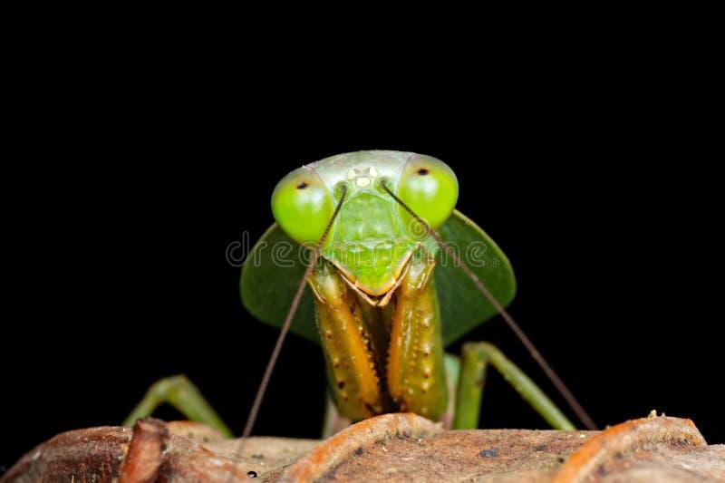 少年戴头巾螳螂的特写镜头画象在调查照相机的腐烂的红色和棕色叶子的显示复眼 库存照片